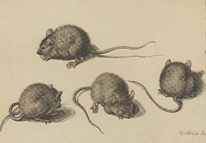 Alte Abbildung einer Maus