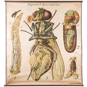 Alte Zeichnung einer Fliege