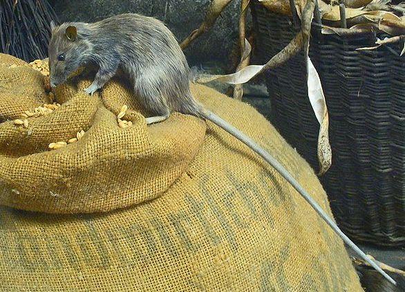 Rattenbekampfung Ungeziefer Im Haus
