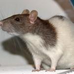 Köder für Ratten