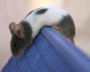 Mäuse im Haus