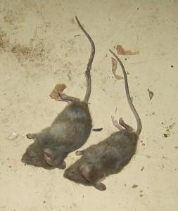 Mäuse mit Gift umgebracht