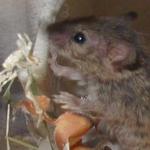 Mäuseköder