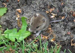 Maus beim Fressen
