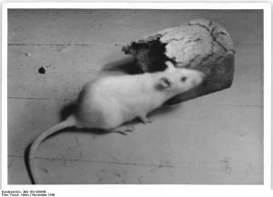 Ratte nagt an Brotresten