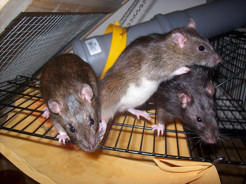 Rattengift ungeziefer im haus