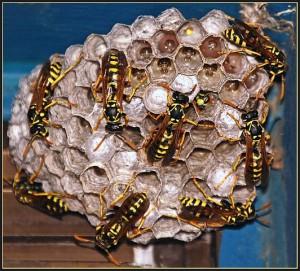 Wepsen beim Bauen eines Nestes