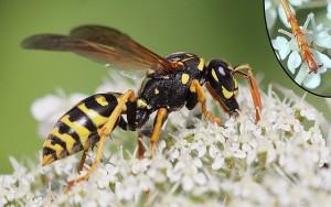 Wespe auf einer Blume