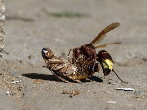 Wespe im Kampf mit einer Kakerlake